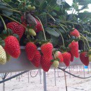 venta de plantas de fresas